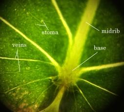 Ficus religiosa (base)